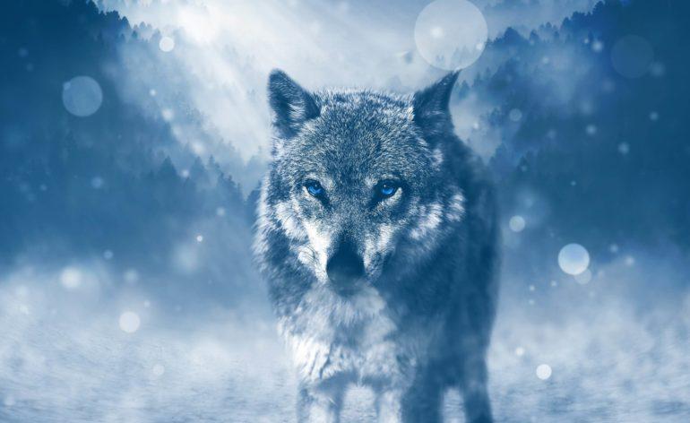 Wild Wolf 4K Wallpaper